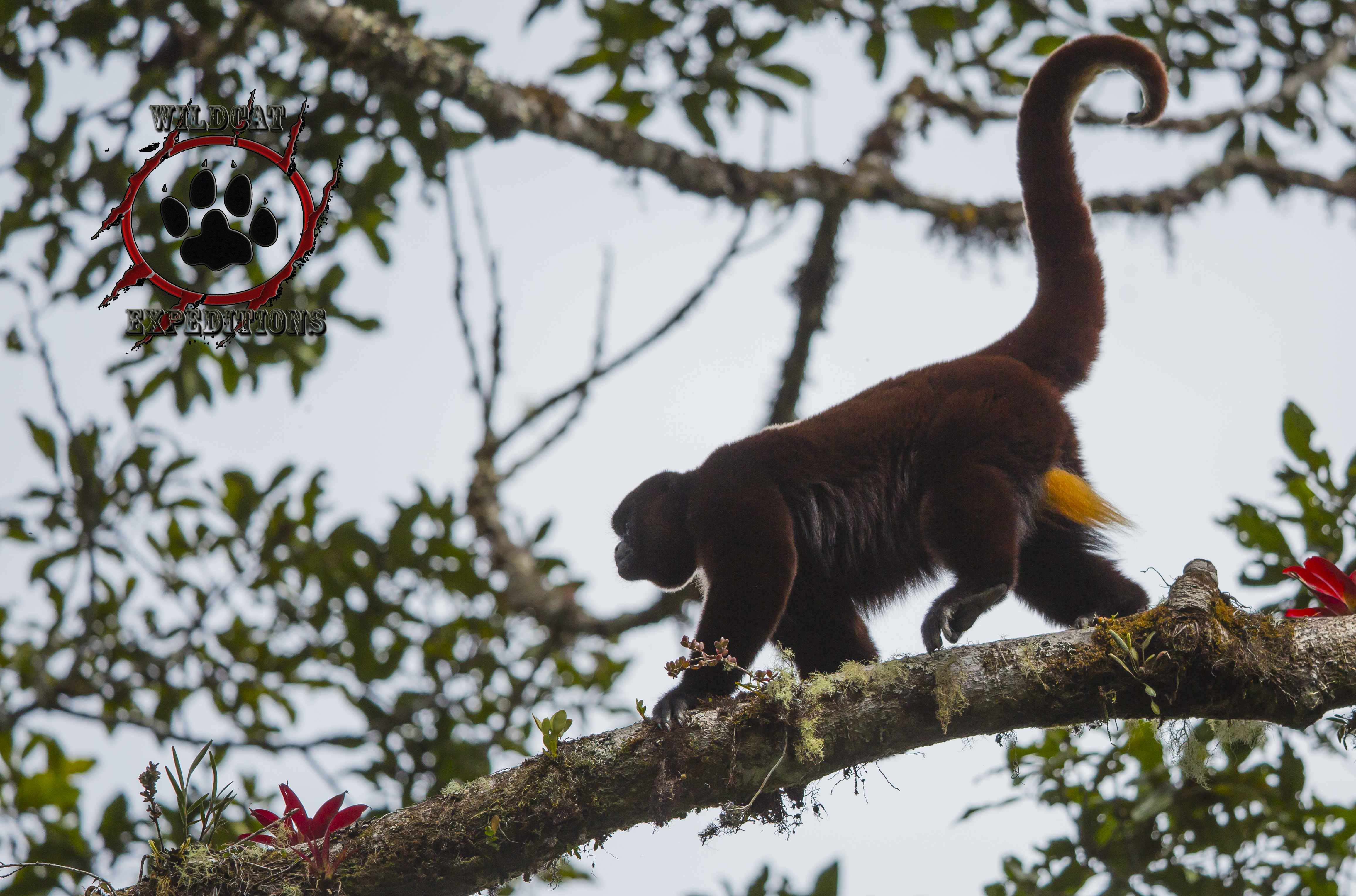 Spectacled Bear and Yellow-tailed Woolly Monkey Tours – Wildcat ... b3d778c511